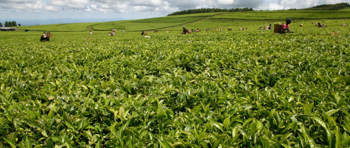 Mara Chai Tea Farm